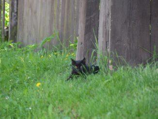 black cat, May2016