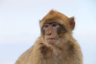 scimmie-rocca-di-gibilterra-capitale