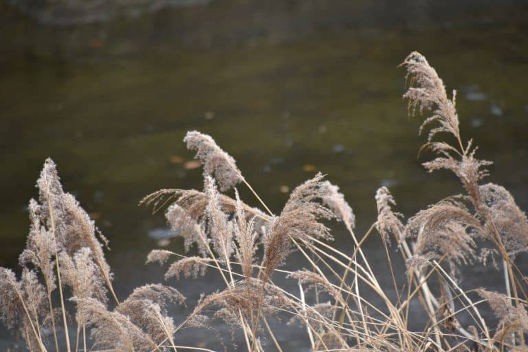 Fukuroda, the waterfall – Japanese pampas grass, Dec.2017 (Ibaraki)