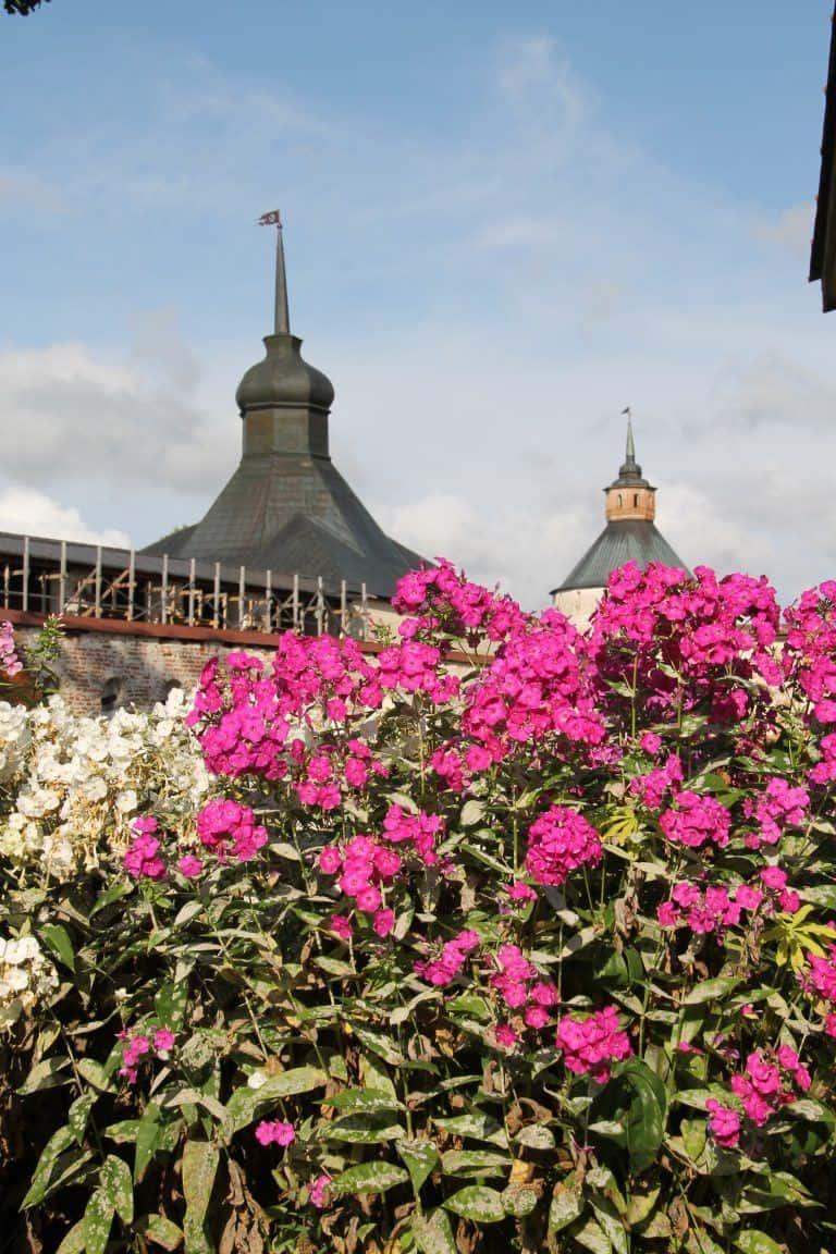 Kirillo-Belozersky Monastery – pink flowers, Aug.2017 (Kirillov)