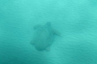 Una delle tartarughe di Zante
