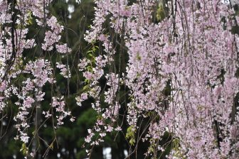 Japan-Akita-Kakunodate-Samurai district-weeping cherry trees-blossoms
