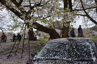 Japan-Akita-Kakunodate-cherry blossoms-petals-car