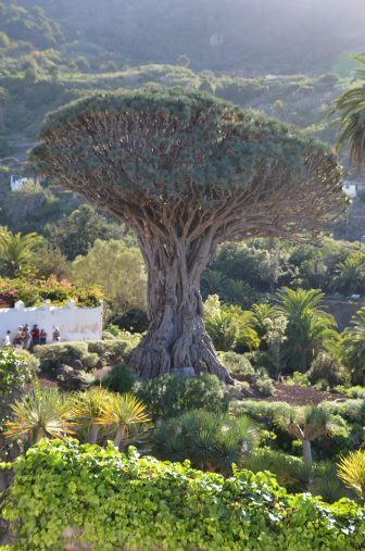 albero-del-drago-icod-de-la-vinos