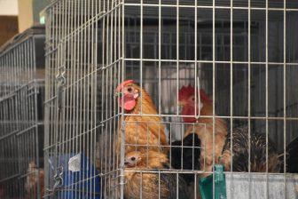 galline-la-laguna-tenerife-canarie