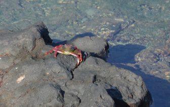 Crab in Tenerife