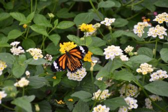 Japan-Miyakojima-Botanical Garden-butterfly-flowers