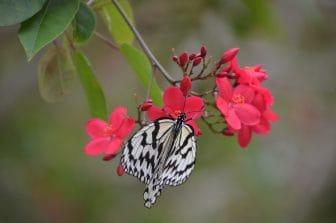 farfalla-bianca-miyakojima-giardino-botanico