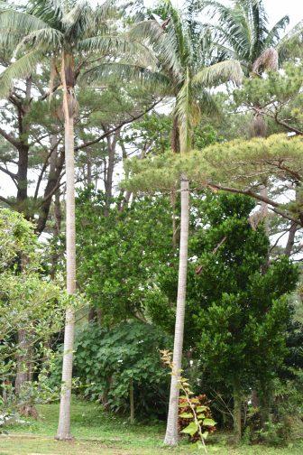 Japan-Miyakojima-Botanical Garden-Yaeyama palm-tall
