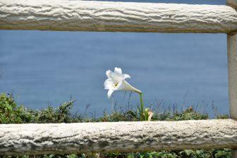 Japan-Miyakojima-Higashi Hennazaki-Easter Lily