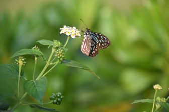 giappone-miyakojima-hotel-giardino-farfalla