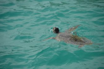 Japan-Miyakojima-turtle-surface