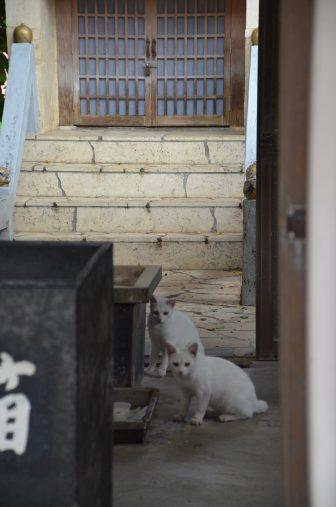 giappone-Miyakojima-Hiraracho-Pyarumizu Utaki-due-gatti-bianchi