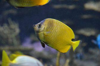 カナダ トロント リプリー水族館 熱帯魚 黄色