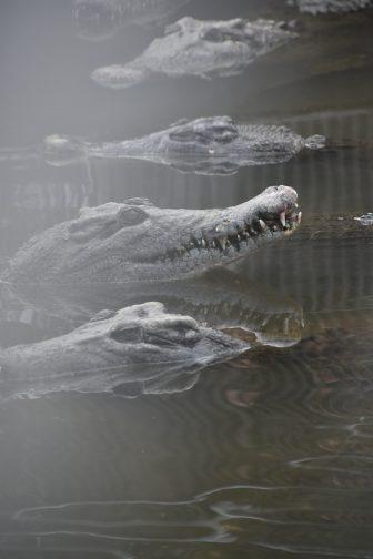 Japan-Kyushu-Oita-Beppu-Hell Tour-Oniyama Jigoku-crocodiles