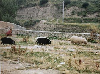 Xiahe-China-Naturaleza-Cerdos