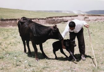 Iran-near Mount Sabalan-cow-calf-man