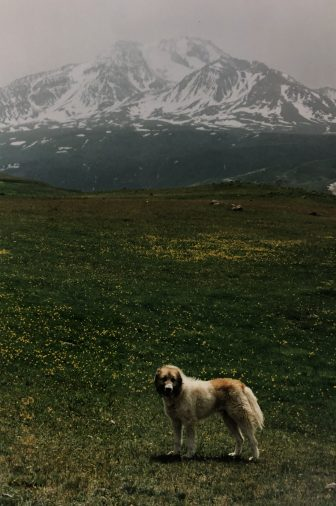 Iran-Mount Sabalan-highland-dog