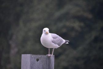 Inghilterra-Cornovaglia-Looe-gabbiani