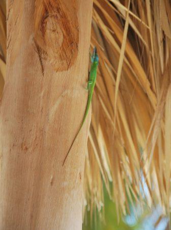 キューバ南部のアンコン・ビーチの海の家にいた緑色のトカゲ