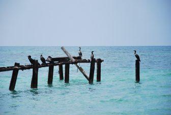 キューバ南部のアンコン・ビーチの桟橋の残骸にとまる鳥