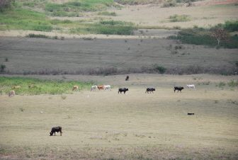 the grazing cows at San Anton, Cuba