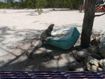 iguana-Varadero-Cuba