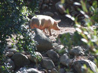 Restonica渓谷にいた豚