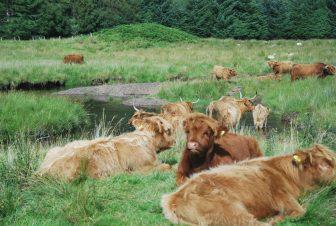 a heard of Highland Cows