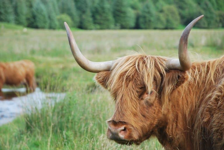 Highland Cows nella magnifica natura intorno a Oban