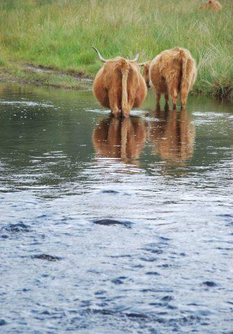 due Highlad Cows camminano nell'acqua