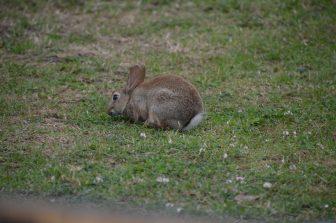 メルローズのウサギ